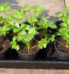 Рассада сельдерея корневого - выращивание