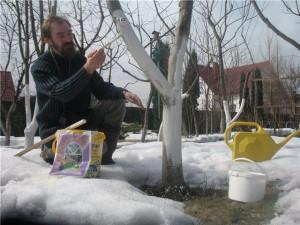 Побелка штамбов плодовых деревьев
