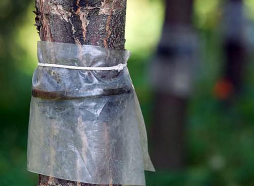 Ловчие пояса на плодовых деревьях своими руками | Сад 365