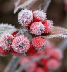 Опасен ли мороз без снега для растений