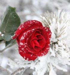 Укрытие растений при бесснежных заморозках
