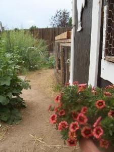 Задний двор дачи и вход в курятник