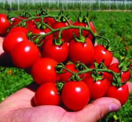 Выращивание детерминантных помидор - формирование и 27
