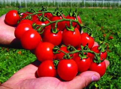 томаты черри сорта с фото