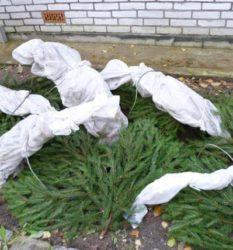 Как укрывать гортензию на зиму в средней полосе